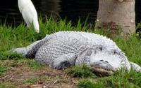 white_alligator_t200