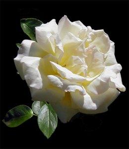 Peace-Rose-a