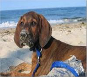 plott-coonhound-4[1]