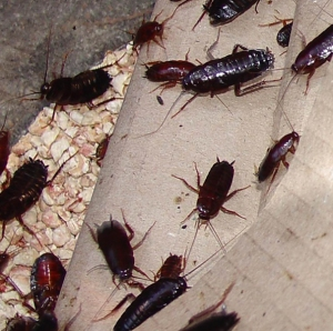 AA - Cockroaches1