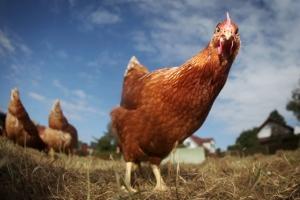 121012-chicken