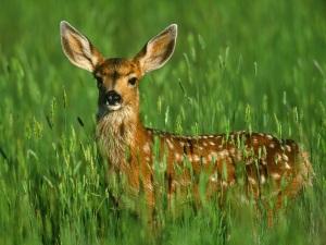 AA - Deer