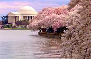 cherry-blossoms[1]