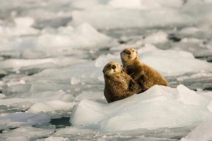 A pair of sea otters sit on a small iceberg and thermoregulate in Harriman Fiord in Prince William Sound Alaska