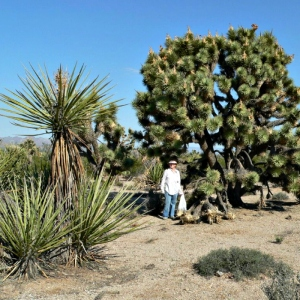 Judy Bundorf, here in front of a mature Joshua tree, fears that such typical flora could be bulldozed to make way for wind turbines near Searchlight, Nev. (Photo courtesy Judy Bundorf)