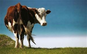 cows-300x187